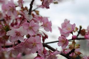 河津桜の写真素材 [FYI01269520]