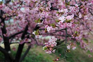 河津桜の写真素材 [FYI01269595]