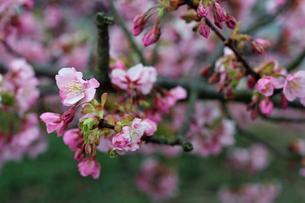 河津桜の写真素材 [FYI01269631]
