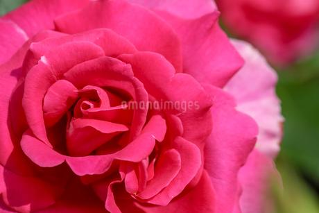 薔薇のクローズアップの写真素材 [FYI01269688]