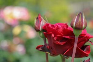 薔薇のクローズアップの写真素材 [FYI01269689]