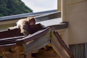 お猿の日向ぼっこの写真素材 [FYI01269842]
