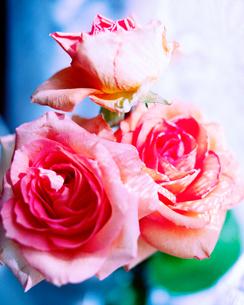 ナチュラルなピンクのバラの写真素材 [FYI01269984]