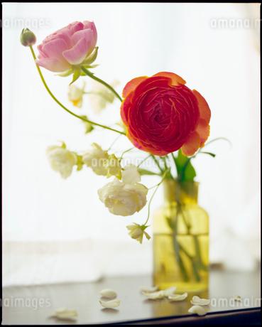 黄色い花瓶のラナンキュラスの写真素材 [FYI01269985]