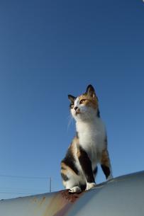 南国沖縄でどこかを見つめる三毛猫の写真素材 [FYI01270102]