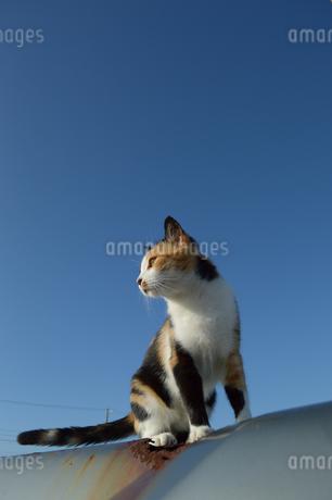 南国沖縄でどこかを見つめる三毛猫の写真素材 [FYI01270103]