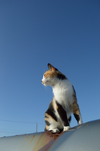 南国沖縄でどこかを見つめる三毛猫の写真素材 [FYI01270104]