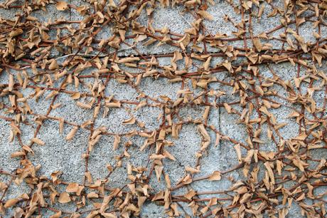 古い壁に枯れたツル植物の写真素材 [FYI01270105]