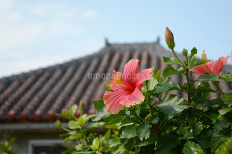 南国沖縄の赤いハイビスカスと瓦屋根の写真素材 [FYI01270112]