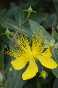 南国沖縄の黄色い花の写真素材 [FYI01270115]