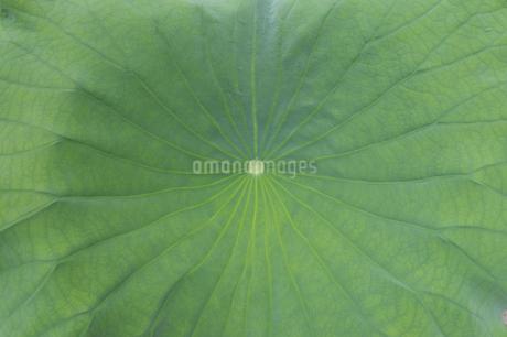 クローズアップした南国沖縄のハスの葉の写真素材 [FYI01270117]