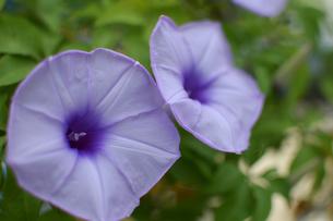 南国沖縄の紫色の花の写真素材 [FYI01270119]