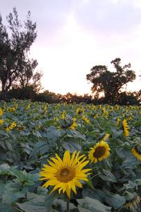 南国沖縄でたくさん咲くひまわりの写真素材 [FYI01270133]