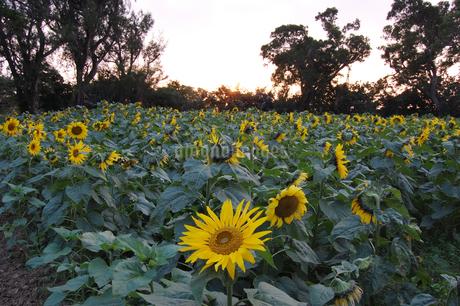南国沖縄でたくさん咲くひまわりの写真素材 [FYI01270134]