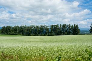 白い花が咲いたソバ畑の写真素材 [FYI01270374]