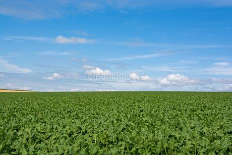 緑の野菜畑と青空の写真素材 [FYI01270381]