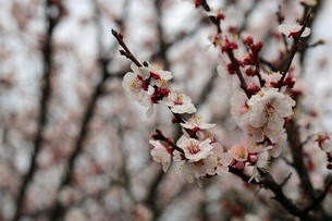 白梅の花の写真素材 [FYI01270405]