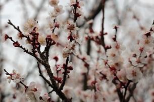 白梅の花の写真素材 [FYI01270407]
