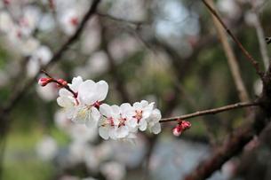 白梅の花の写真素材 [FYI01270409]
