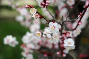 白梅の花の写真素材 [FYI01270410]