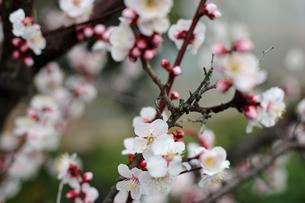 白梅の花の写真素材 [FYI01270412]