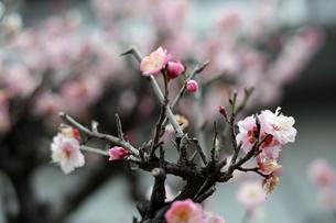 白梅の花の写真素材 [FYI01270413]