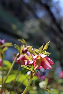 クリスマスローズの花の写真素材 [FYI01270425]
