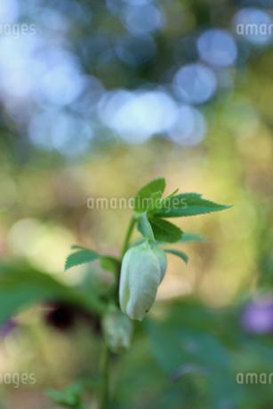 クリスマスローズの花の写真素材 [FYI01270444]
