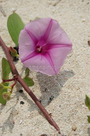 南国沖縄の白い砂浜に咲くヒルガオの写真素材 [FYI01270458]
