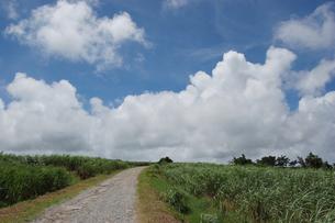 南国沖縄のサトウキビ畑の農道の写真素材 [FYI01270472]