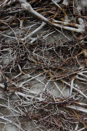 枯れた木と枝が残るブロック塀の写真素材 [FYI01270527]