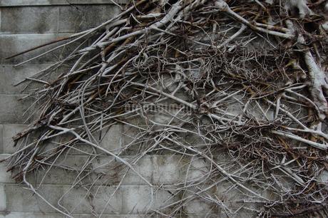 枯れた木と枝が残るブロック塀の写真素材 [FYI01270528]