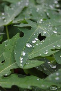 南国沖縄の水滴が残る葉の写真素材 [FYI01270529]