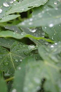南国沖縄の水滴が残る葉の写真素材 [FYI01270530]