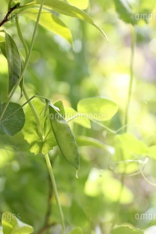 サヤエンドウの栽培の写真素材 [FYI01270603]