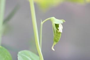 サヤエンドウの栽培の写真素材 [FYI01270607]