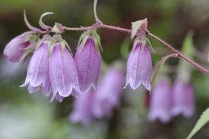 紫色のホタルブクロの写真素材 [FYI01270620]