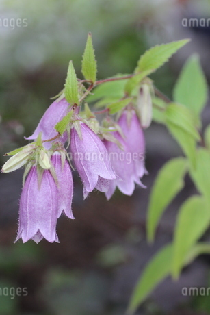 紫色のホタルブクロの写真素材 [FYI01270622]