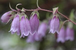 紫色のホタルブクロの写真素材 [FYI01270624]