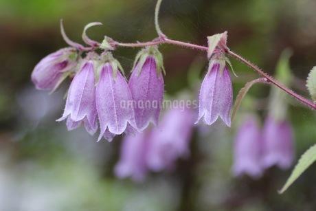 紫色のホタルブクロの写真素材 [FYI01270625]