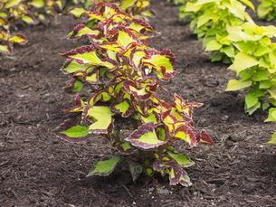 赤く縁取られた黄緑の葉は肥えた土の深い茶色と相性抜群の写真素材 [FYI01270675]