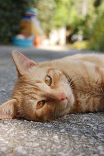 南国沖縄の路上で寝っ転がる可愛い猫の写真素材 [FYI01270678]