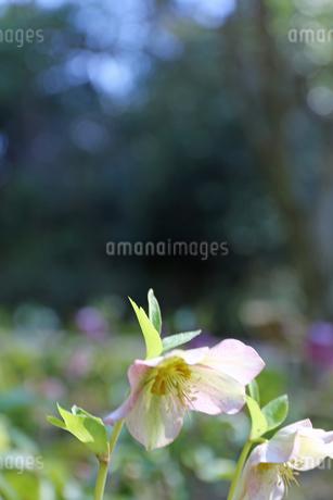クリスマスローズの花の写真素材 [FYI01270686]