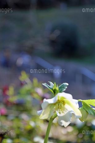 クリスマスローズの花の写真素材 [FYI01270688]