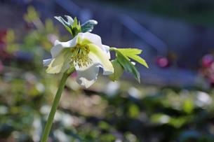 クリスマスローズの花の写真素材 [FYI01270689]