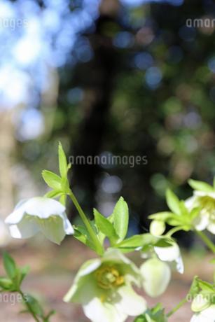 クリスマスローズの花の写真素材 [FYI01270708]