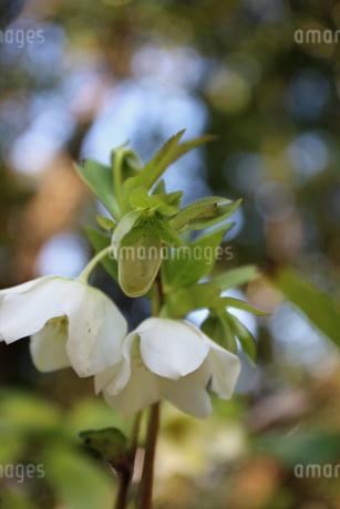 クリスマスローズの花の写真素材 [FYI01270710]