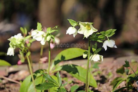 クリスマスローズの花の写真素材 [FYI01270711]