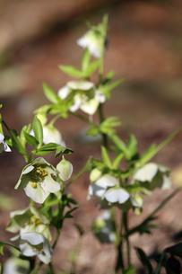クリスマスローズの花の写真素材 [FYI01270714]