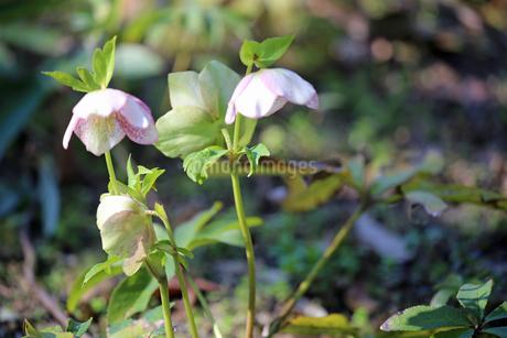 クリスマスローズの花の写真素材 [FYI01270717]